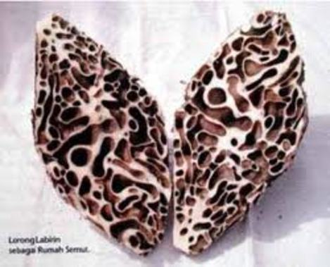 Sarang Semut Papua Putih